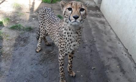 Koty z opolskiego zoo. Zwinny gepard ćwierka jak wróbel i w mig może rozwinąć prędkość samochodu!