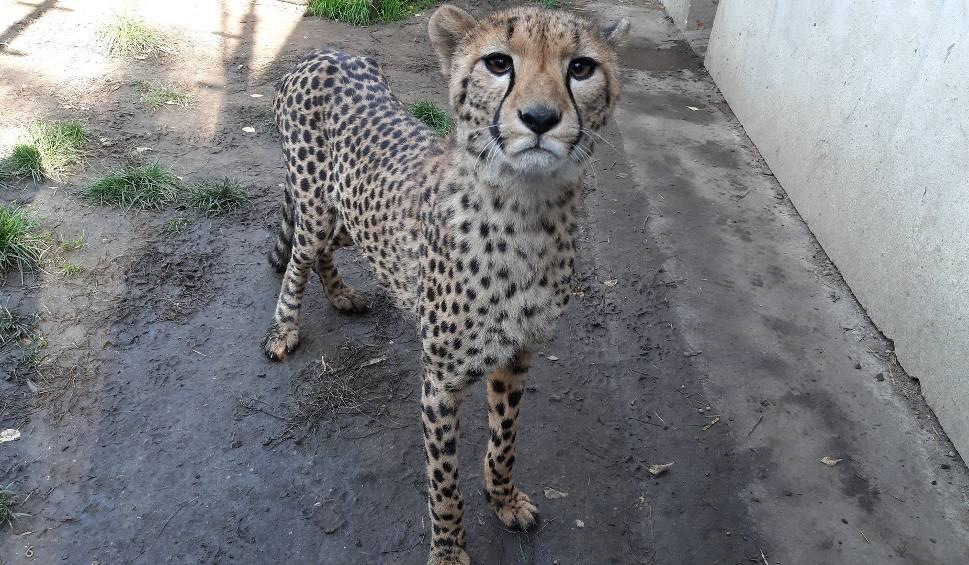 Film do artykułu: Koty z opolskiego zoo. Zwinny gepard ćwierka jak wróbel i w mig może rozwinąć prędkość samochodu!