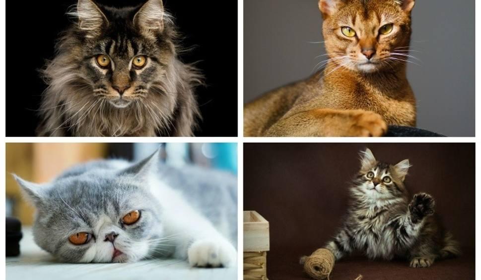 Film do artykułu: Ranking kocich piękności. TOP 10 najpiękniejszych kotów. Zadziwią Ciebie swoją urodą [ZDJĘCIA]