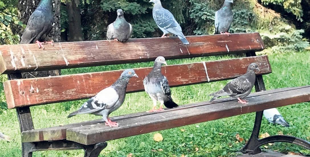 Zdaniem fachowców regularne dokarmianie dziko żyjących ptaków nie ma nic wspólnego z troską o nie. Gołębie przyzwyczajone do pożywienia od ludzi szybciej