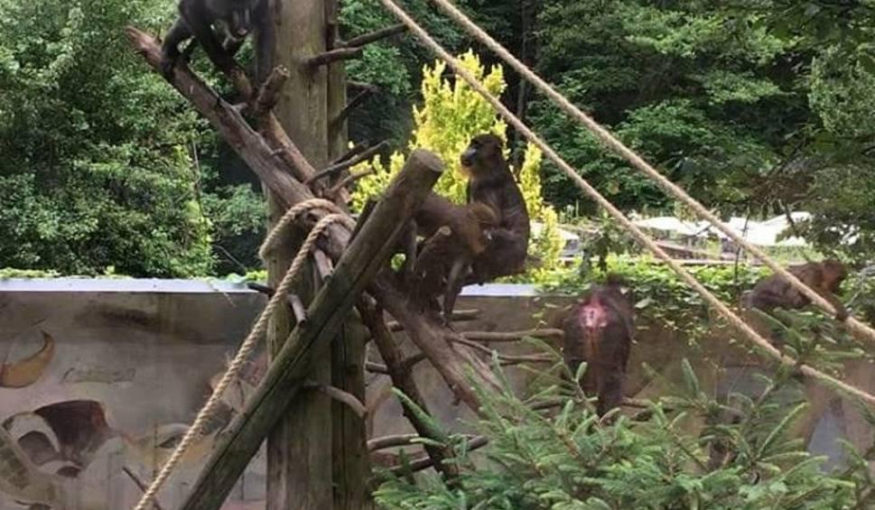Film do artykułu: Mandryle w Gdańskim Ogrodzie Zoologicznym szaleją na wybiegu po modernizacji. Zobacz wideo!