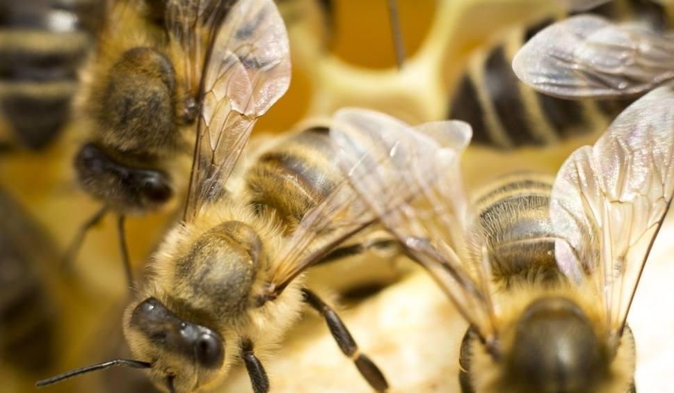 Film do artykułu: Pasieka jesienią. Jak przygotować pszczoły do zimowli? [wideo]