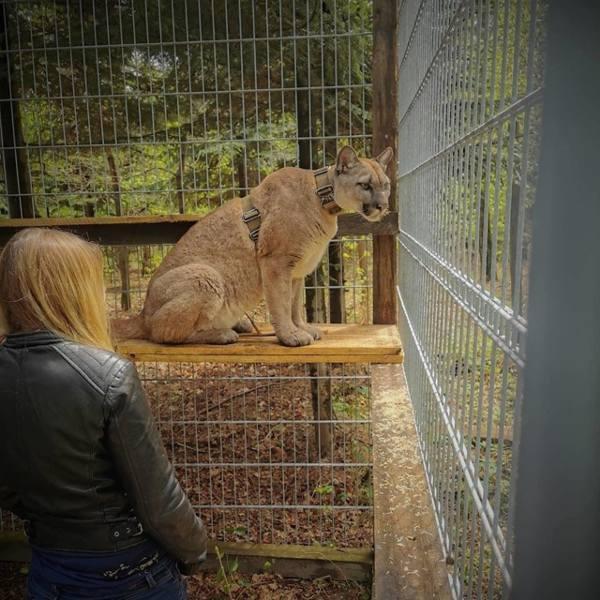 Puma w ZOO w Chorzowie