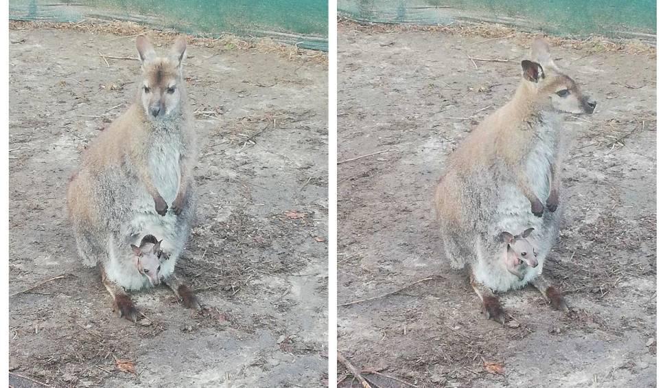 Film do artykułu: W Kielnie zaginęła kangurzyca z młodym. Właściciel zaapelował o pomoc w poszukiwaniach [wideo]