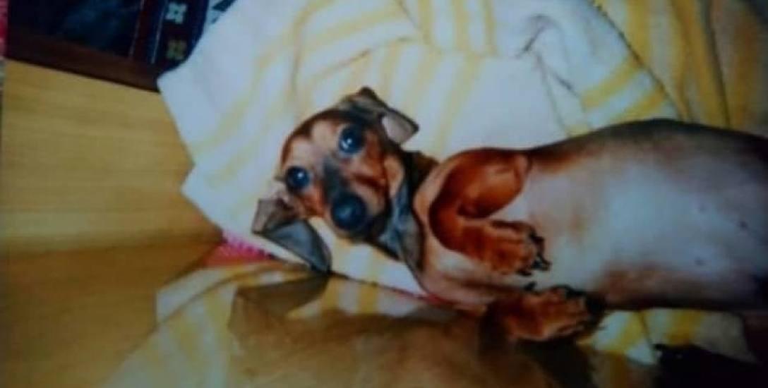Psi dramat na Rubinkowie - właściciel amstafa wyjaśnia kulisy ataku na Odiego