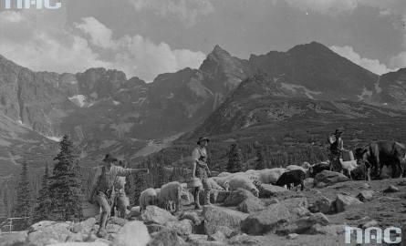 Wypas owiec w Tatrach. Górale wypasają owce na Hali Gąsienicowej.
