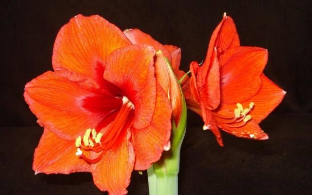 Na łodydze amarylisa, która dorasta do wysokości około 60 centymetrów jest od trzech do sześciu kiwatów.