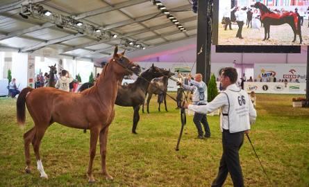Zobacz konie z Narodowego Pokazu Koni Arabskich Czystej Krwi w Janowie Podlaskim