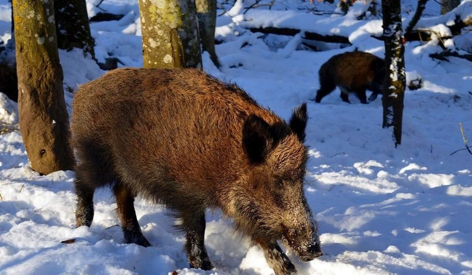 Film do artykułu: Strefa Agro. Raport z odstrzału dzików. Hodowcy: - Braknie mięsa z naszych świń