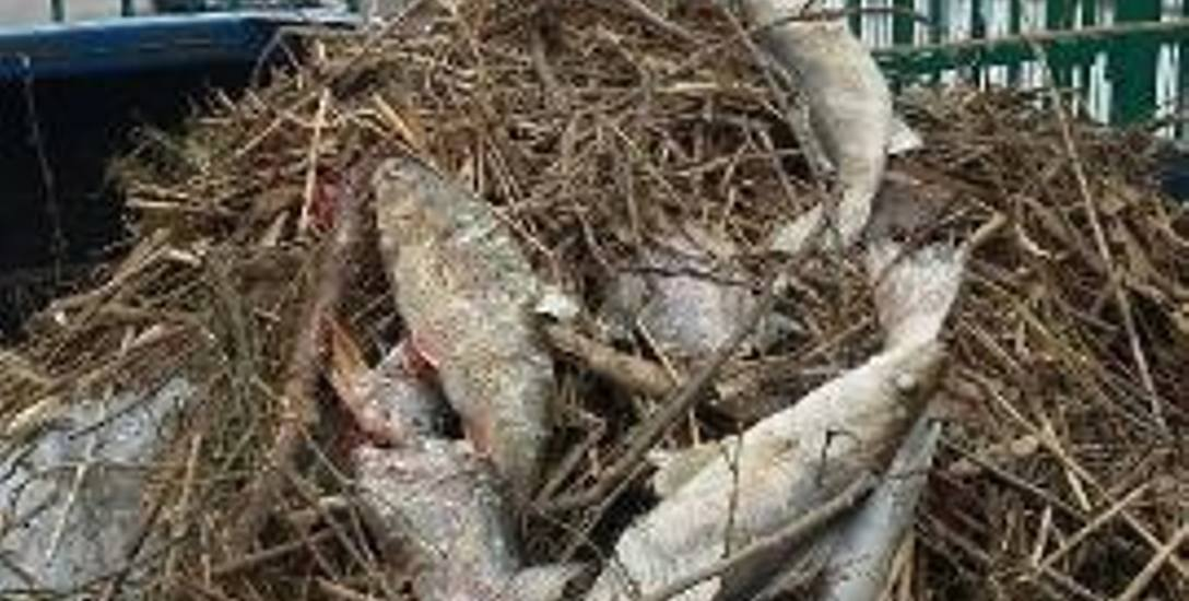 W Gubinie wyłowiono kilkanaście sztuk śniętych ryb. WIOŚ w Zielonej Górze przeprowadził badania. Woda nie jest skażona.