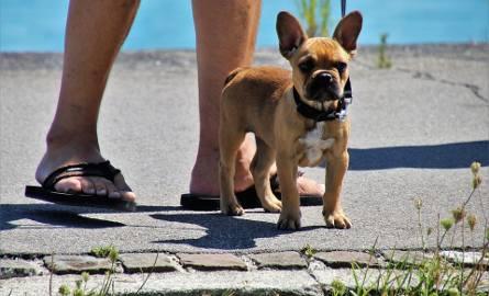 Weszła już w życie nowelizacja kodeksu wykroczeń dotycząca pilnowania psów, zwłaszcza tych niebezpiecznych, przez ich właściciel. Znacznie zaostrzono
