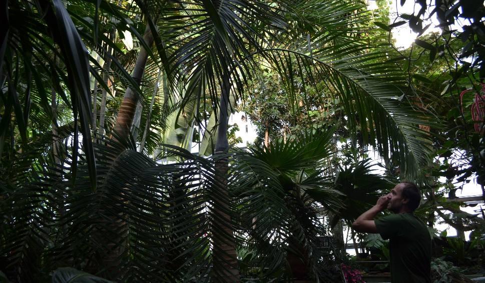 Film do artykułu: Palmiarnia w Gliwicach ma nowe palmy i afrykańskich przybyszów