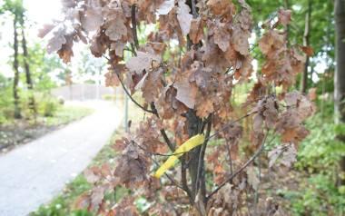 Usychające drzewa w Sosnowcu