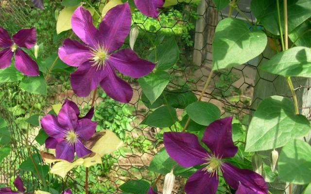 Ogrodzenie z siatki ładnie się prezentuje, gdy porasta je kwitnący powojnik.