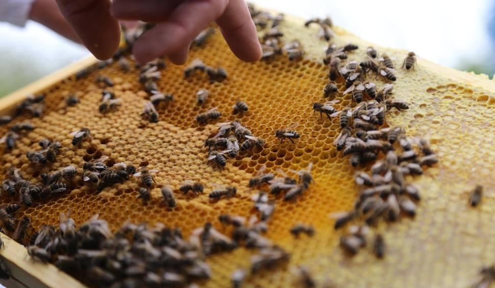 Film do artykułu: Krakowscy pszczelarze ochodzą 100-lecie Związku