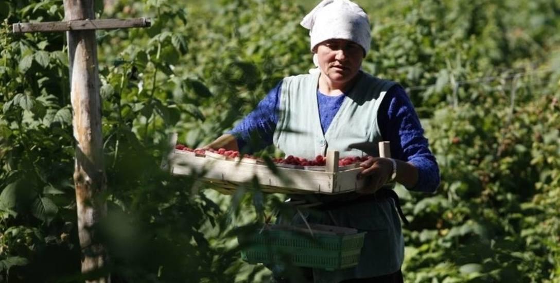 Wiele ofert pracy na saksach dotyczy zbioru owoców i warzyw