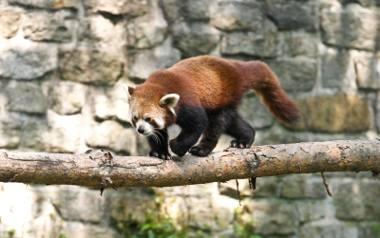 Do ogrodu zoobotanicznego mają trafić pandy małe