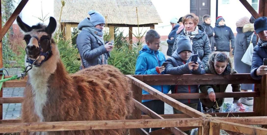 Żywe zwierzęta w świątecznych szopkach nie służą do zabawy
