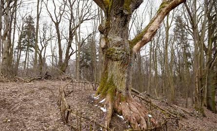 Dąb Wojciech uratowany. 650-letnie drzewo znów czeka na turystów (zdjęcia)