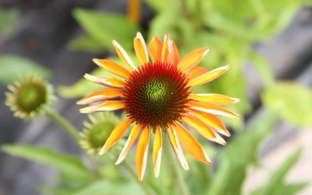 Efektowne jeżówki i hibiskusy. Pięknie kwitną aż do jesieni