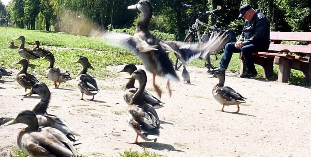 Dziś w Parku Sulecha spotkać można kaczki i inne ptaki. Mieszkańcy uważają, że po rewitalizacji miejsce to stanie się jeszcze bardziej atrakcyjne