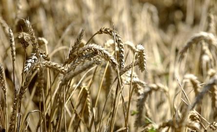 Po ile rolnicy będą sprzedawać zboża, żywiec oraz mleko w marcu i czerwcu? Spróbował to przewidzieć zespół ekspertów ds. Prognozowania Cen Produktów