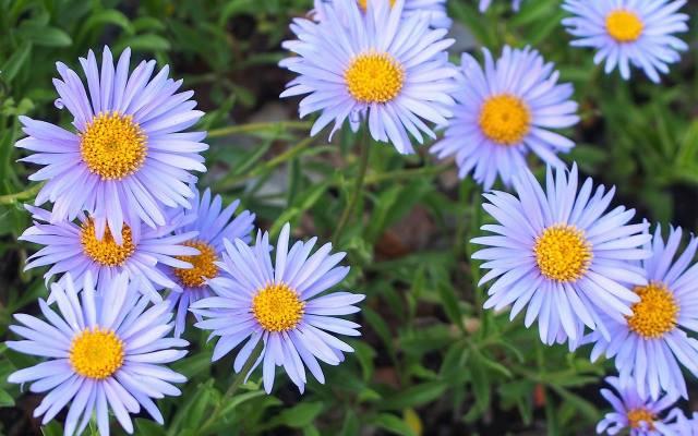 Astry alpejskie kwitną wcześniej niż ich popularni kuzyni. W ogrodzie warto sadzić różne gatunki.