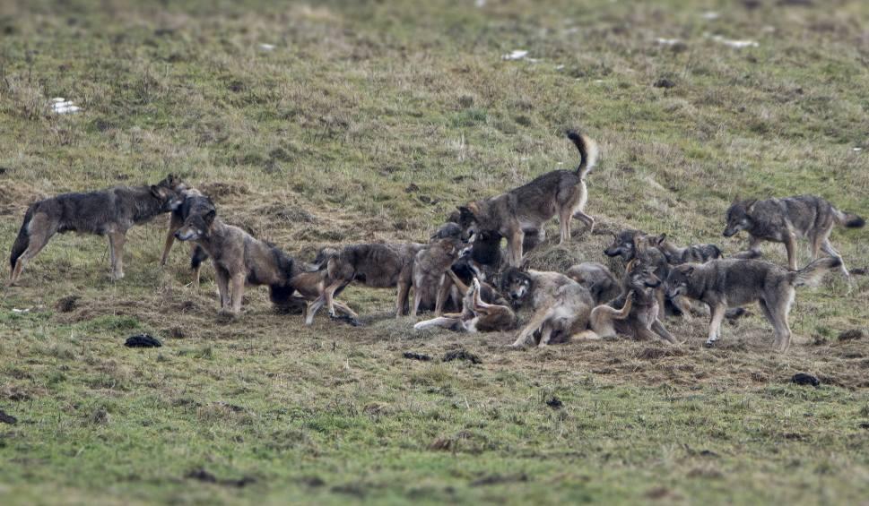 Film do artykułu: Niezwykła wataha sfotografowana w Bieszczadach. Liczyła 23 wilki. Zobacz zdjęcia!