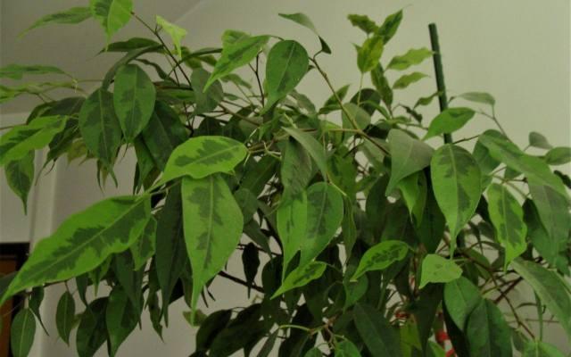 """Wprawdzie niewiele trzeba, żeby benajmin """"obraził się"""" i zaczął tracić liście, jednak po zapewnieniu odpowiednich warunków, roślina"""