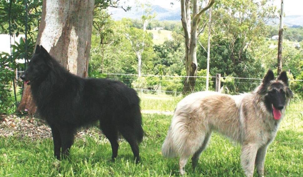 Owczarek Belgijski Pies Dla Lubiących Wyzwania Porannypl