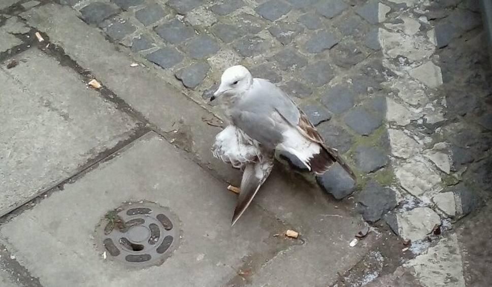Film do artykułu: Mewa z połamanym skrzydłem. Nasza Internautka prosiła o pomoc