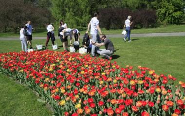 W przyszłym roku tulipany zakwitną w nowym miejscu Ogrodu Botanicznego