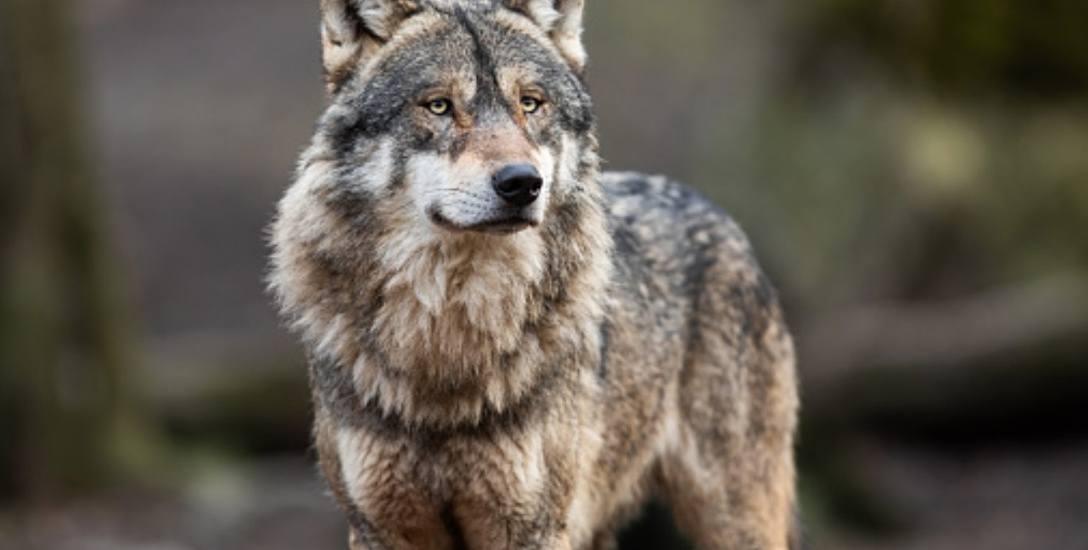 Martwy wilk znaleziony niedawno w Półkotach nie został zastrzelony