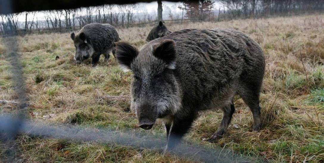 Dziki wkraczające do miast - to inny problem, o którym mówią myśliwi z naszego regionu