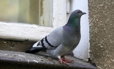 Mieszkaniec Małopolski znęcał się nad gołębiem. Miał być... przynętą dla kota