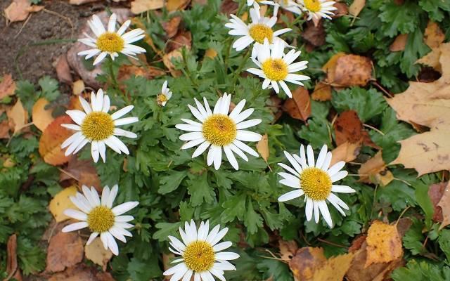 Złocień arktyczny ozdobi nasz ogród jesienią.