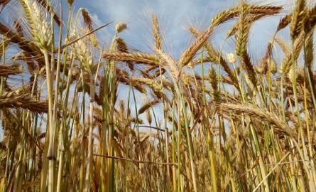 Jeszcze 5 tys. rolników z Kujawsko-Pomorskiego nie dostało pomocy suszowej za 2019 rok