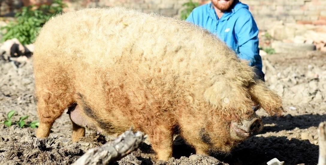 Świnie rasy mangalica w Zielonej Górze Stożnem mają sporo terenu do zabawy, rycia i odpoczynku. Te zwierzaki, a także krowy mięsne rasy hereford, hoduje