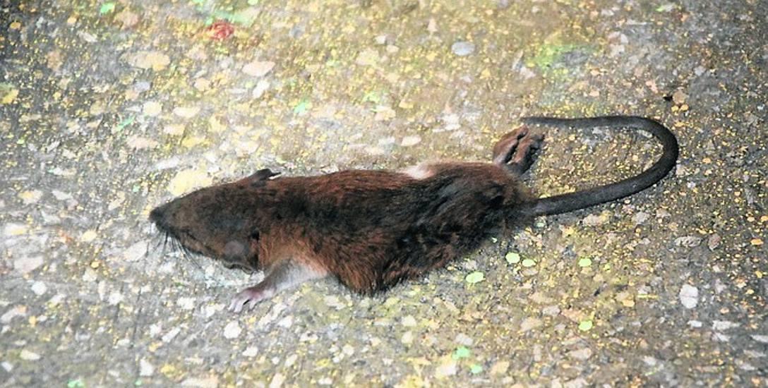 Szczury odwiedzają skierniewickie bloki i mieszkania