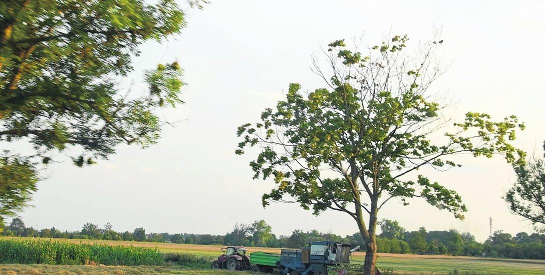 Największe straty rolnicy szacują na zbożach i rzepaku. Pogoda wysuszyła również trawę, której brakuje w hodowlach bydła