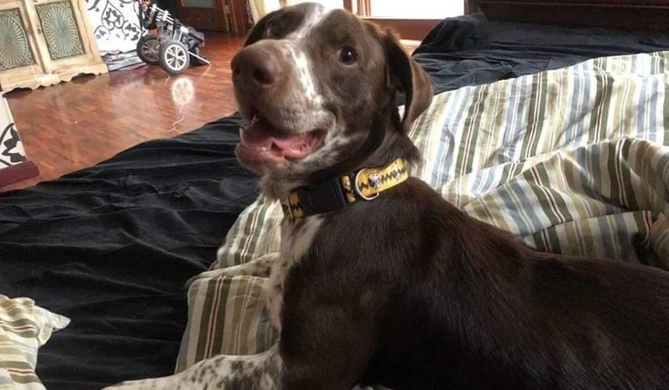 Film do artykułu: Pamiętacie psa Fijo, którego skatował jego właściciel? Zobaczcie, jak psiak ma się teraz [WIDEO]