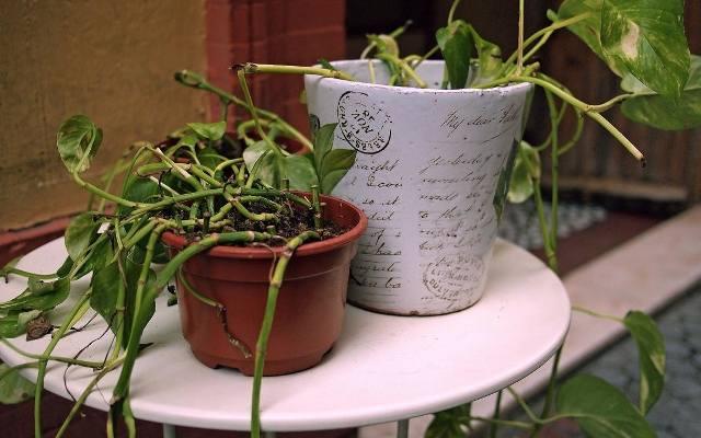 Jeśli roślina zamiera bez wyraźnego powodu może to świadczyć o inwazji skoczogonków w doniczce.