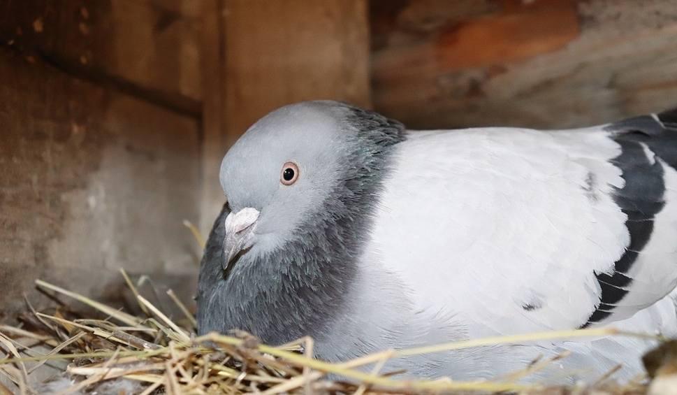 Film do artykułu: Sposoby na gołębie. Metody na pozbycie się gniazd gołębi i uciążliwych ptaków! Jak pozbyć się gołębi? Usuwanie gołębi z balkonu! 8.05.2021