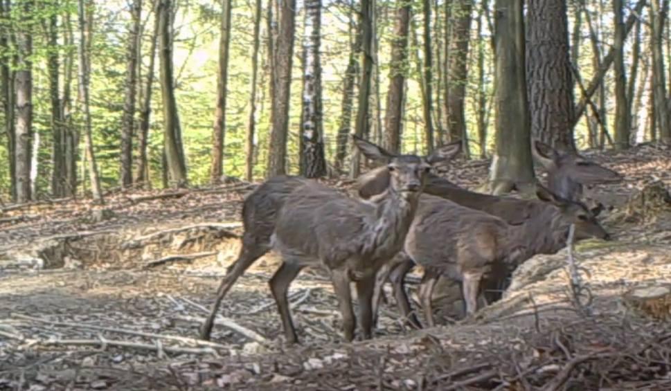 Film do artykułu: Nadleśnictwo Polanów: zwierzęta w oku fotopułapki [wideo]