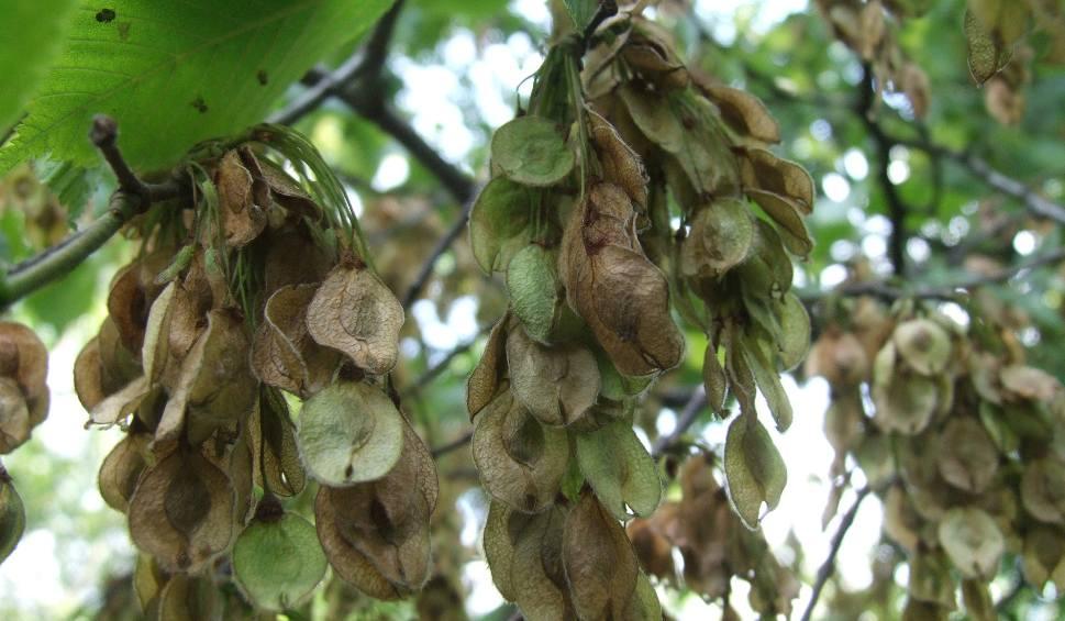 Film do artykułu: Wyjątkowy urodzaj w lasach Podkarpacia. Trwa zbiór nasion drzew. Leśnicy zgromadzili już tony szyszek i żołędzi [ZDJĘCIA]