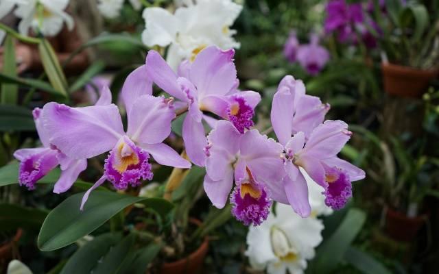 Katleja to tzw. storczyk sympodialny - wytwarza wiele pseudobulw, ale każda z nich wypuszcza tylko raz pęd kwiatowy.