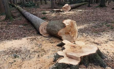 Wycinka drzew w Bielsku-Białej w Cygańskim Lesie