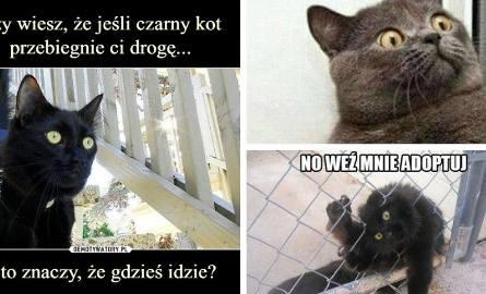 Dzień Czarnego Kota MEMY. Czarny kot wcale nie oznacza nieszczęścia. To okazja do walki z przesądami i stereotypami