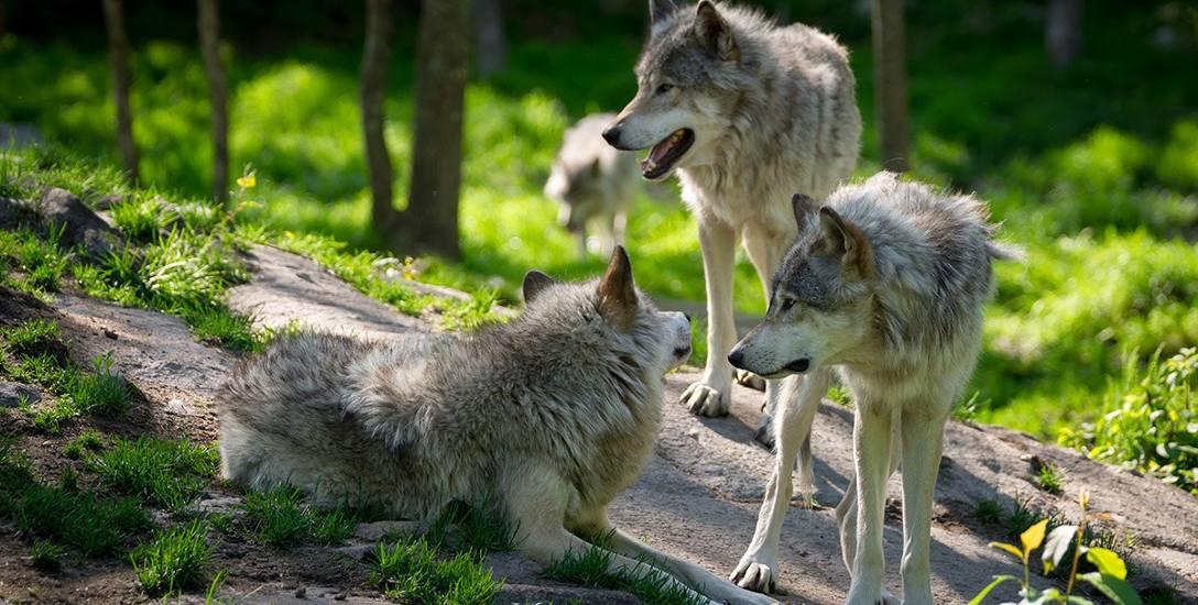 Na Pomorzu żyje około 100 wilków. Mają tu znakomite warunki i nie stanowią zagrożenia dla człowieka