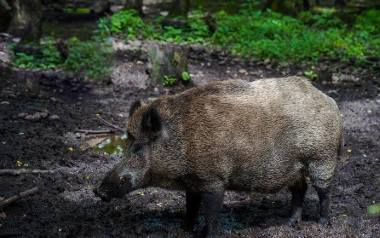 Rząd chce więcej płacić za lochy i przelatki (samice w drugim roku życia). Za odstrzelenie jednej oferuje 650 zł, za pozostałe dziki 300 zł.